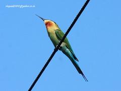 IMG_1545Blue-tailed Bee-eater (Merops philippinus) (vlupadya) Tags: greatnature animal bird aves fauna indianbirds bluetailed beeeater merops kundapura karnataka