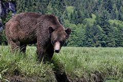 Some bright light in a rainy place DSC_8214Dec 21 2018 1 (Stormpeak_1) Tags: khutzeymateen britishcolumbia canada greatbearrainforest nature wilderness nikon nikond500 nikon80400mm grizzlybear bear wildlife