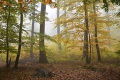 Il était une fois l'automne (Excalibur67) Tags: nikon d750 sigma globalvision art 24105f4dgoshsma forest foréts arbres trees automne autumn brume mist nature vosgesdunord alsace paysage landscape