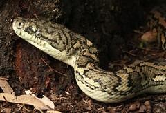 Coastal Carpet Python (Mitch Thorburn) Tags: coastal carpet python morelia spilota mcdowelli wild snake gold coast queensland