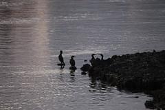 Cormorants on the River - IMG_1865 (406highlander) Tags: aberdeenharbour water marine northsea aberdeen scotland bird birds avian avians waterfowl cormorant greatcormorant phalacrocoraxcarbo sigma120400mmf4556apodgos canoneos6d