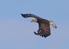 Nearly Adult bald eagle in flighjt2 (Daniel Hemingsen) Tags: eagle flight nature