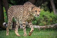 Prowling Cheetah (helenehoffman) Tags: africa cheetah acinonyxjubatus bigcat feline conservationstatusvulnerable felidae sandiegozoosafaripark nature sandiegozoo wildlifed cheetahbreedingcenter safaripark carnivore mammal animal