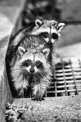 Rocky Raccoon (Thomas Hawk) Tags: america animal bayarea california eastbay piedmont racoon sfbayarea us usa unitedstates unitedstatesofamerica westcoast bw raccoon fav10 fav25 fav50 fav100