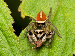 Jumping spider, Freya decorata, Salticidae (Eerika Schulz) Tags: jumping spider freya decorata salticidae spinne springspinne ecuador puyo eerika schulz