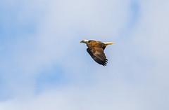 Flying By The Clouds (John Kocijanski) Tags: baldeagle eagle bird birdofprey canon400mmf56 sky clouds wildlife nature animal canon7d flight flying wings