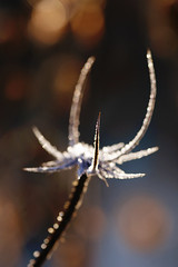 Point Of Focus (Hugobian) Tags: teasel teasle flora nature light sun frost ice backlight macro fairlands valley stevenage pentax k1 lake