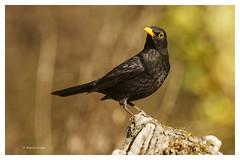 Merle noir; Turdus merula; Common Blackbird (Pierre Crétu) Tags: merlenoir turdusmerula commonblackbird passériformes turdidés oiseau birdforêts bois jardins sédentaire