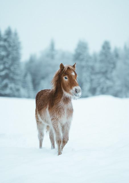 The Nordland Horse