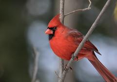 Male Cardinal (Mark Polson) Tags: animal bird cardinal male snow winter