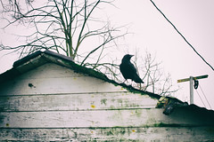garage roof II (annapolis_rose) Tags: garage decay disrepair bird crow corvid vancouver