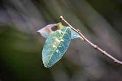 Green Leaf (filmcrazy1014) Tags: woods wood treebrach branch nikon nature wildlife colorfulleaves leaf spottedleaves greenleaves green bokeh macro outdoor outdoorphotography detail closeup absract white blue brown forest