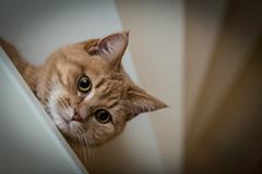 Maura (Richard van de Velde) Tags: richardvdvelde poes cat pussycat dieren animal animals cats