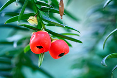 The Fruitfull Year (Alfred Grupstra) Tags: nature leaf red fruit ripe food branch freshness tree plant greencolor agriculture organic summer outdoors growth healthyeating closeup crop bush berry