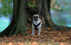 Puggle-Cross between a Pug and Beagle. (PANDOOZY PHOTOS) Tags: puggle crossbreeddog dog domesticated canislupusfamiliaris pet outdoors autum autumnal leaves tree pug beagle beaglecrosspug designerdog hybriddog mongrel newbreed dogs