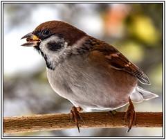 Feldsperling-Spatz (robert.pechmann) Tags: feldsperling spatz vogel makro macro winter
