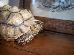Matt Patterson Studio Tour (John M Poltrack) Tags: animalia reptile tortoise vertebrate lightroom
