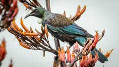 Tūī feeding (Stefan Marks) Tags: animal bird flax nature outdoor plant prosthemaderanovaeseelandiae tui tūī aucklandwaitakere northisland newzealand nzl