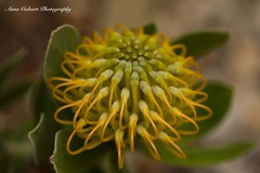 Pinchusion Flower (Anna Calvert Photography) Tags: australia canberra flora floral flowers garden landscape macro macrophotography mygarden nature outdoors petals plants pincushionflower pincushion yellow