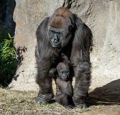 Hope and Saambili. (rsheath76) Tags: dallaszoo gorillas baby westernlowlandgorilla faces