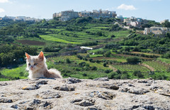 The Stray (LeeDylanLeeDyl) Tags: cat cats kitten kittens cute adorable malta maltese maltease matla gozo island view green fields farm farmland sky blue cityscape d3300 35mm nikon nikkor 18