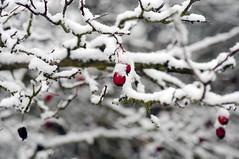 Farbklecks (Frau Koriander) Tags: snow schnee derersteschnee firstsnow weather wetter nature natur nikond300s nikkoraf60mmƒ28 rosenhöhe darmstadt berries berry red rot beere frucht winter farbklecks
