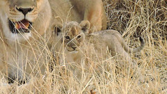 Lion cub with his mom (BaliDave2) Tags: namibia wildlife lioness lion cubs africa 2018 lioncubs