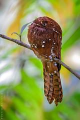 Rufous Potoo. Nictibio Rufo. Nyctibius bracteatus (Daniel Sziklai G.) Tags: amazonas ecuador gareno rufous potoo nictibio rufo nyctibiusbracteatus pájaro palo aves birds