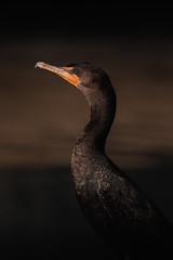 Neotropic Cormorant Portrait (scottryantucker) Tags: bird birding portrait cormorant neotropic lake sony 100400 a7r3 a7riii canon