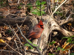 Northern Cardinal (A male) (Smith Birding) Tags: montrosepointbirdsanctuary cardinaliscardinalis northerncardinal chicago magichedge montrosepoint photography wildlife coolpixp1000 nikon birds