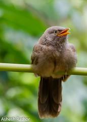 Jungle babbler (asheshr) Tags: 200500mm babbler bird birds birdsofindia birdsofodisha birdsoforissa d7200 junglebabbler nikkor nikon nikon200500mm nikond7200