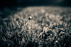 Pick me, I'm single! (iamunclefester) Tags: traunwalchen garden autumn blackandwhite monochrome toned daisy single one solo lonely backlight macro detail lightray rayoflight ray sunset golden goldenhour dof