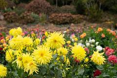 Sunburst (Dominic Sagar) Tags: amy arlen felsen friends sanfrancisco flower petal yellow california unitedstates us