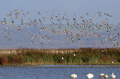 Wetland Birds (robin denton) Tags: landscape waterscape wetlands lincolnsire alkborough birds waterbird lapwing swans whooperswan nature wildlife goldenplover