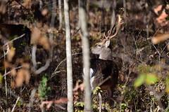 Deer-Fallow Buck_0111e (Porch Dog) Tags: 2018 garywhittington nikond750 nikkor200500mm outdoors wildlife nature landbetweenthelakes betweentheriverskentucky