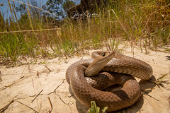 Eastern brown snake (benstubbs13) Tags: eastern brown snake reptile venomous wildlife textilis australia victoria melbourne tamron nikon