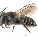 Megachile rotundata NZAC04118287 thumbnail