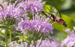 Hummingbird Moth (will139) Tags: hummingbirdmoth clearwingmoth moth sphingidae spinxmoth insect flower pollinator