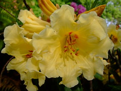 Rhododendron (yewchan) Tags: rhododendron rhododendrons azalea azaleas flower flowers garden gardening blooms blossoms nature beauty beautiful colours colors flora vibrant lovely closeup