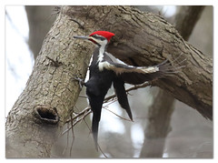 Pileated Woodpecker (Redtail10025) Tags: pileated woodpecker birds nature birding pelham bay park bronx ny wildlife