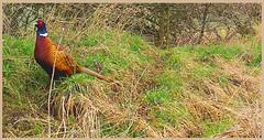 Pheasant 03120117 (dark-dave) Tags: pheasant wildlife nature bushnell