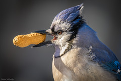 Blue Jay (Melissa M McCarthy) Tags: bluejay jay bird songbird animal nature outdoor wildlife wild blue colorful cute eating peanut backyard mountpearl newfoundland canada portrait closeup canon7dmarkii canon100400isii