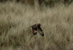 IMG_4581 (monika.carrie) Tags: monikacarrie wildlife scotland forvie shortearedowl seo