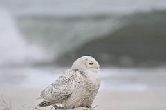 Owls and Barrels (bigolemrkanish) Tags: long island longislandwildlife longisland ny new york newyork snowyowl waves beach beaches bird birdsofprey birds owl owls