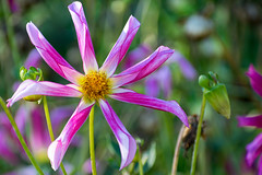 ... the days are getting longer (KPPG) Tags: bokeh blume blüte farbenfroh colorful flower