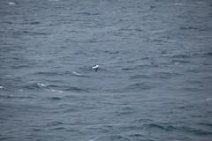 IMG_0212 (y.awanohara) Tags: humpbacks humpbackwhales whales whale southgeorgia scotiasea january2019 wildlife cetacean