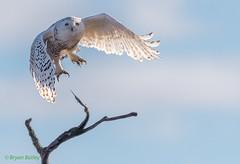 Snowy Owl (bbatley) Tags: birds wildlife owl snowyowl