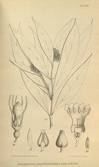 n656_w1150 (BioDivLibrary) Tags: botany melanesia papuanewguinea missouribotanicalgardenpeterhravenlibrary bhl:page=500585 dc:identifier=httpsbiodiversitylibraryorgpage500585 artist:name=gertrudbartusch