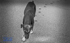 Dog walks 10x16WebSign (RoManLeNs) Tags: outdoors outside day daytime artistic blackandwhite bw desaturated monochrome beach sand sandybeach water nature traveling travel traveldestinations warmweather salty waves humidity humid animals mammals dog dogs walking footprint exploring alive life romanlens romrom rom