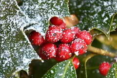 DSC_5263 (griecocathy) Tags: macro végétations houx feuille fruit neige vert rouge blanc